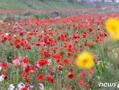 [사진] 양귀비꽃 흐드러진 임실천변