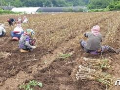 명품 단양황토마늘 수확 한창…2500톤 생산 예상
