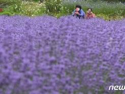 [사진] 허브빌리지에 잔뜩 핀 라벤더