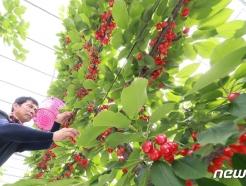 [사진] 빨갛게 잘 익은 '체리' 수확