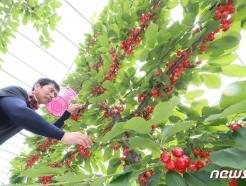 [사진] 함양산 '체리' 수확