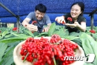 탐스럽게 맺힌 인삼 열매 수확해요!