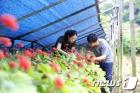 빨갛게 익은 인삼 열매 수확