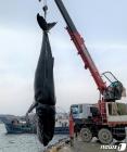 울진 앞바다서 '멸종위기종' 혹등고래 죽은 채 발견