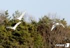 안동 찾아온 천연기념물 노랑부리저어새