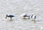 먹잇감 찾는 천연기념물 205-2호 노랑부리저어새