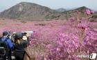 비슬산 참꽃 절경