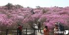 참꽃 뒤덮인 비슬산