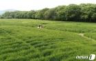 청보리밭 산책
