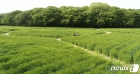 상큼한 청보리밭 걷는 시민