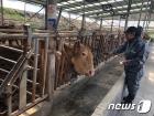 장수군, 소·염소 구제역 백신 일제접종 완료