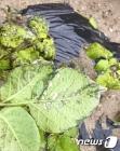 충남 서부지역, 잦은 비로 '감자역병' 피해 우려