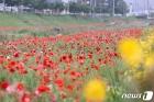 임실천변 수놓은 양귀비꽃