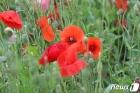 이슬비 머금은 양귀비꽃