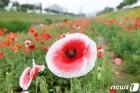활짝 핀 양귀비꽃