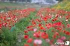 임실천변 양귀비꽃 활짝