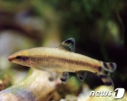 금강환경청, 대전 유등천에 멸종위기 감돌고기 1500마리 방류